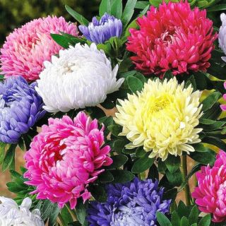 Семена за цветя внос от Германия