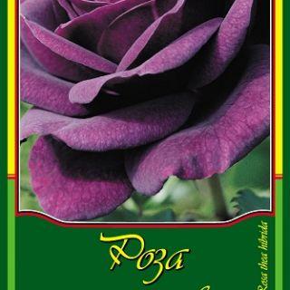 Тъмно лилава роза