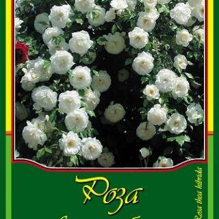 Бяла влачеща роза