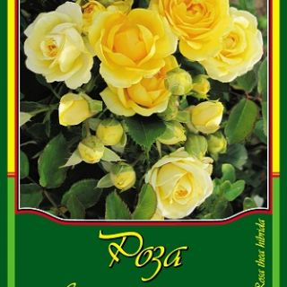 Жълта влачеща роза