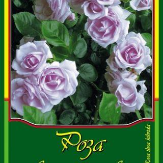 Лилава влачеща роза
