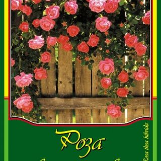 Розова влачеща роза