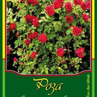 Червена влачещ роза