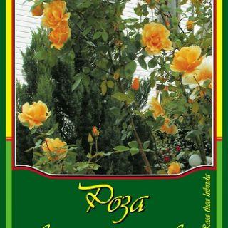 Оранжева влачеща роза