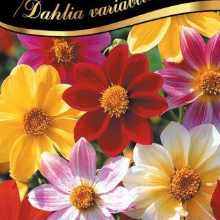 Далия Миньон/Dahlia variabilis /