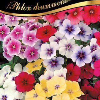Флокс/Phlox drummondii /