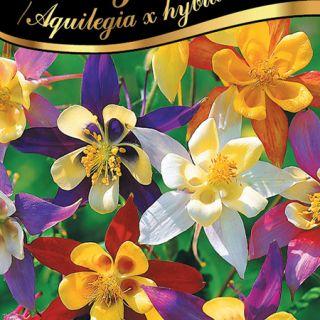 Кандилка/Aquilegia x hybrida/