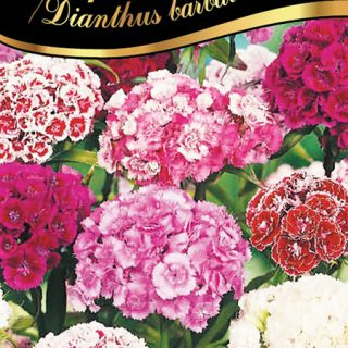 Карамфил Топ карамфил /Dianthus barbatus/