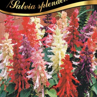 Пламък/Салвия/Salvia splendens /