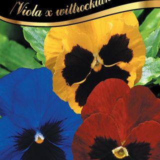 Теменуга/Viola x wittrockiana /