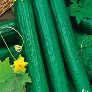 Оранжерийни краставици SANDRA F1- 20бр.семена