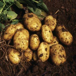 Посадъчен материал картофи