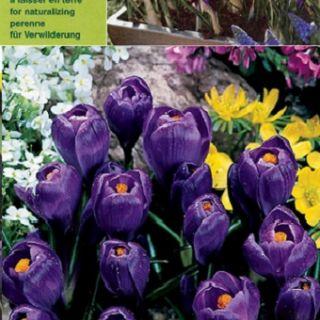 Едроцветен минзухар FLOWER RECORD /тъмно синьо/