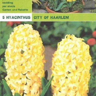 Луковица зюмбюл City of Haarlem-1бр.