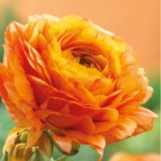 Ranunculus ORANGE -1бр.
