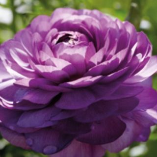 Ranunculus PURPLE -1бр.
