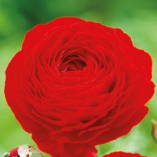 Ranunculus RED -1бр.