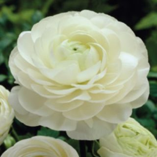 Ranunculus WHITE -1бр.