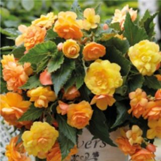 Begonia Double Pendula Illumination Apricot