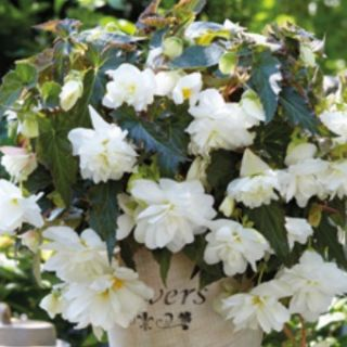 Begonia Double Pendula Illumination White