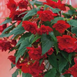 Begonia Double Pendula CASCADE RED