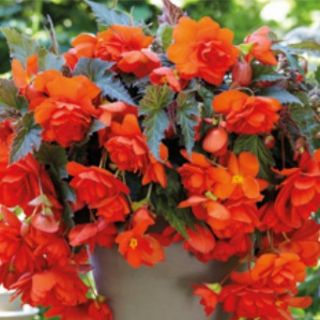 Begonia Double Pendula CASCADE ORANGE