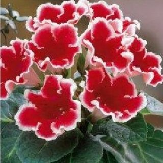 Gloxinia/каменно цвете/ KAISER FRIEDRICH