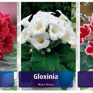 Шоубокс GLOXINIA-GL1 /Каменно цвете/- 5х20бр