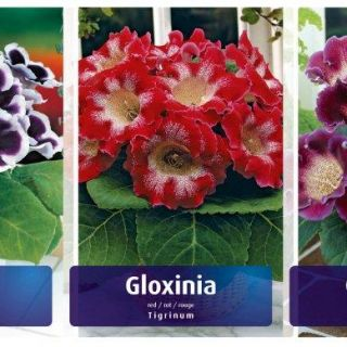 Шоубокс GLOXINIA-GL2 /Каменно цвете/- 5х20бр