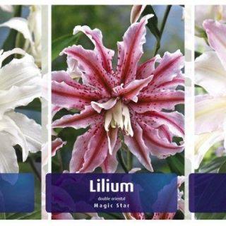 Шоубокс Лилиум DOUBLE-LI2 /Двоен гъст/-100бр