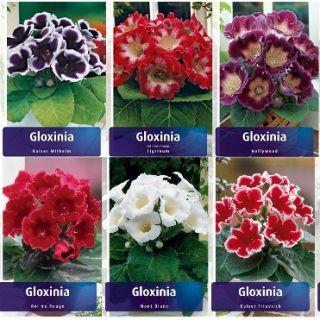 Комплект 10бр .GLOXINIA /Каменно цвете/